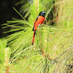 Birds of Doi Inthanon 1